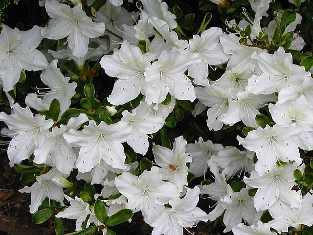 Delaware Valley White