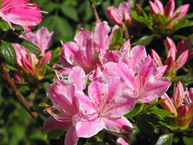 Kermesinum Rose
