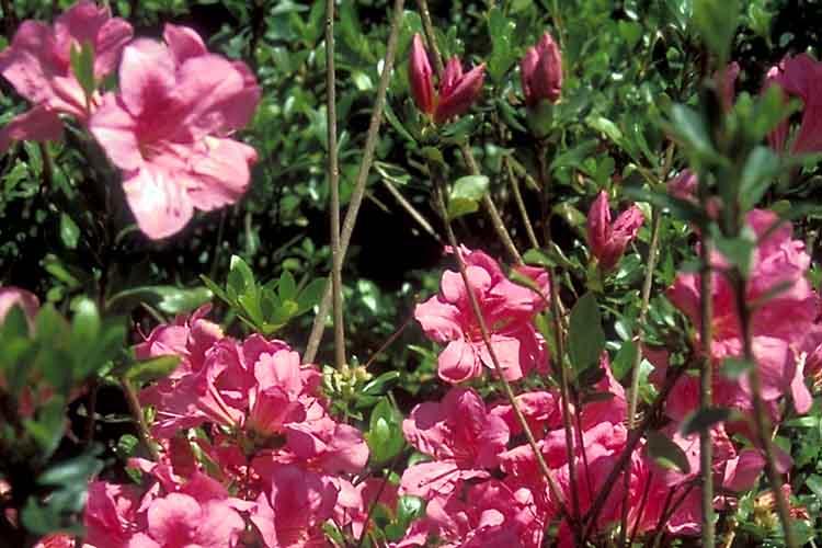 Macranthum Pink