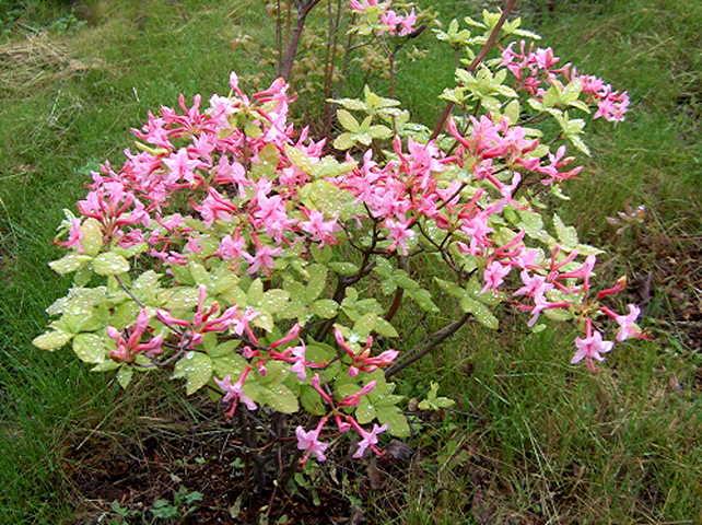 <i>prinophyllum</i>