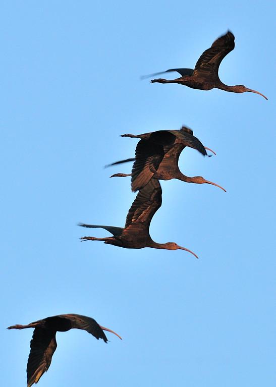 OCT_7983 Ibis in flight