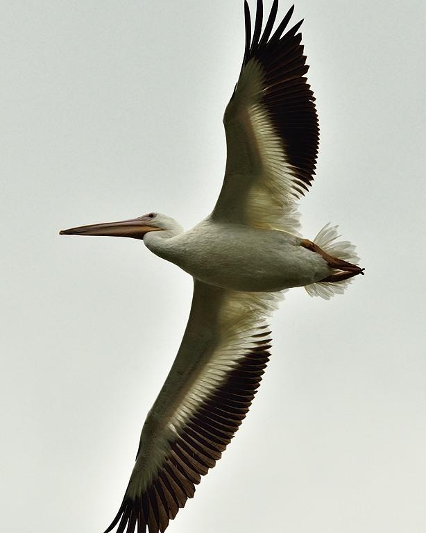_APR3337 American white pelican