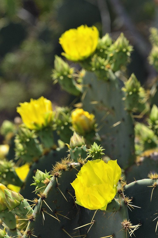 _APR3480 Spring bloom; prickly pear cactus