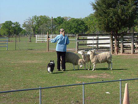 Chase 1st herding trial