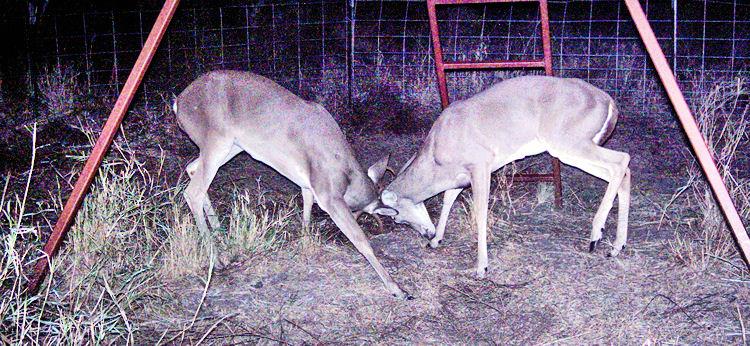 Sparring bucks - 2007