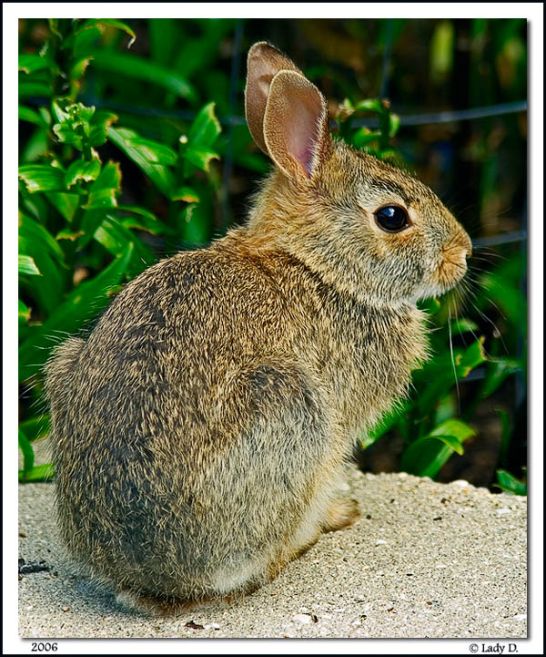 Cotton-tail Rabbit
