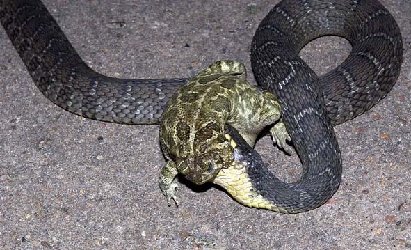 Snake snags the big frog