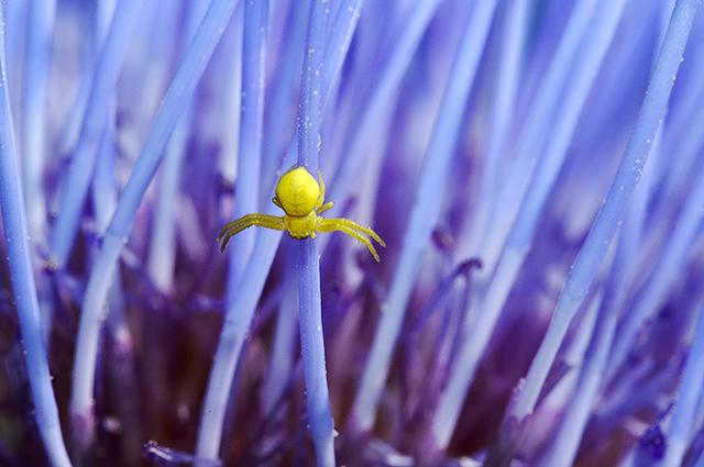 Small crab spider on artichoke  flower