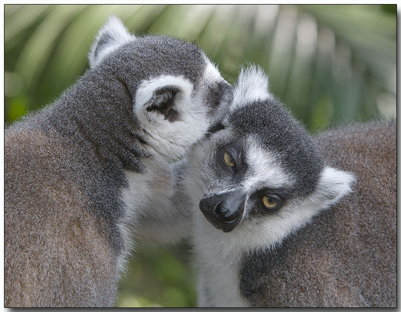 Lemurs Bonding