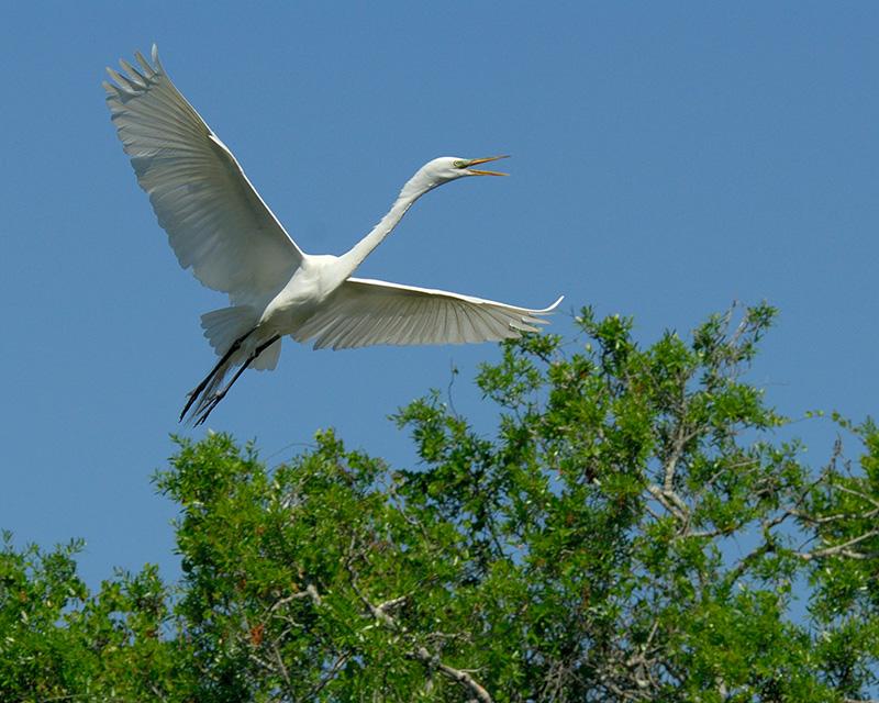 Great Egret 3799.jpg