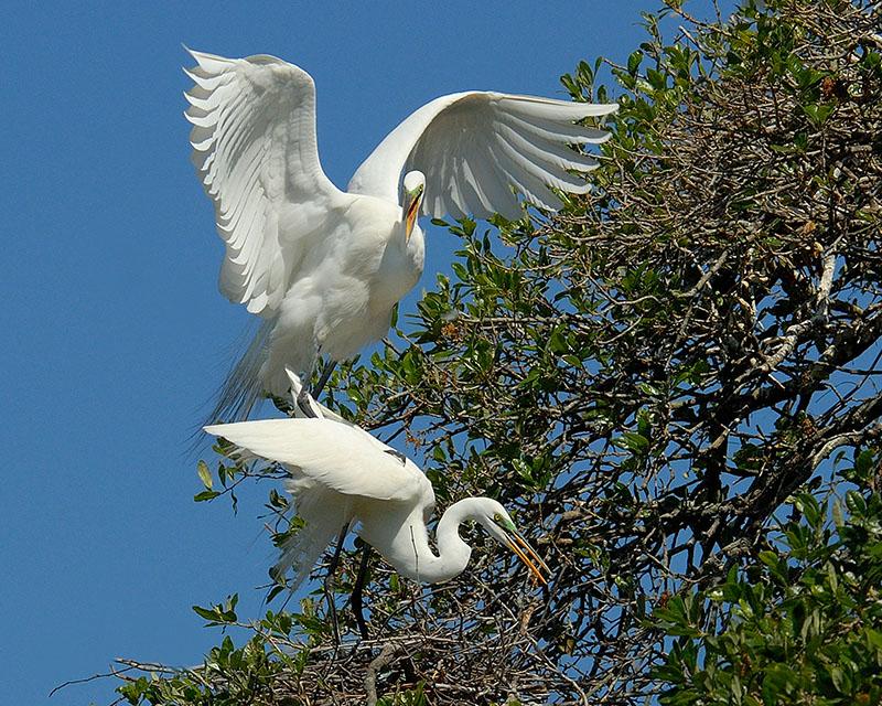 Great Egrets 3798.jpg
