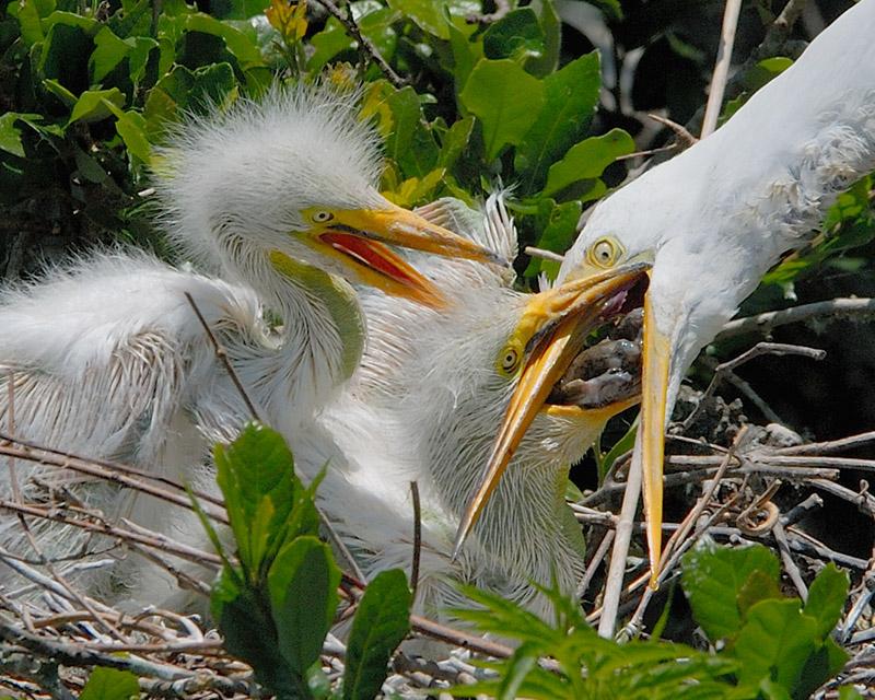 Great Egrets 6042.jpg