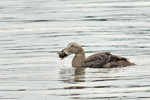 Female Common Eider with Fresh Water Clam