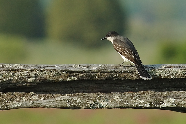 Kingbird Watching