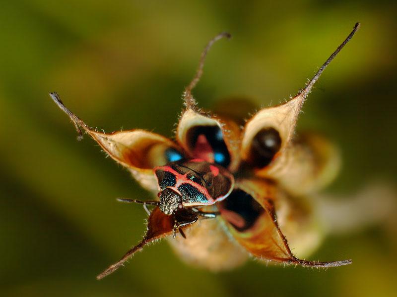 Stink Bug on Columbine seed pod