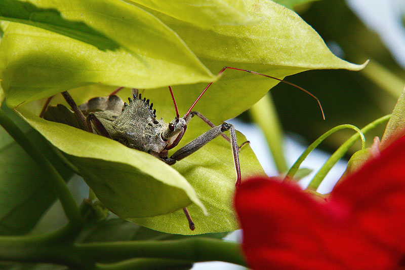Wheel Bug on Hibiscus