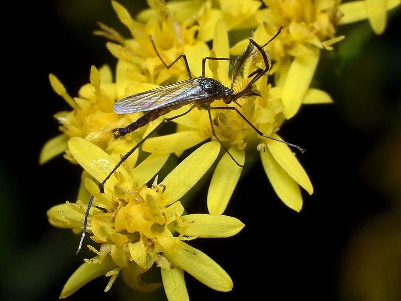 Male Mosquito - Psorophora ferox