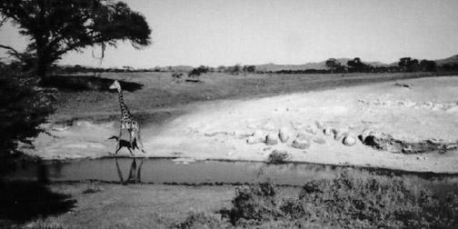 Drinking Giraffe, Serengeti National Park (1997)