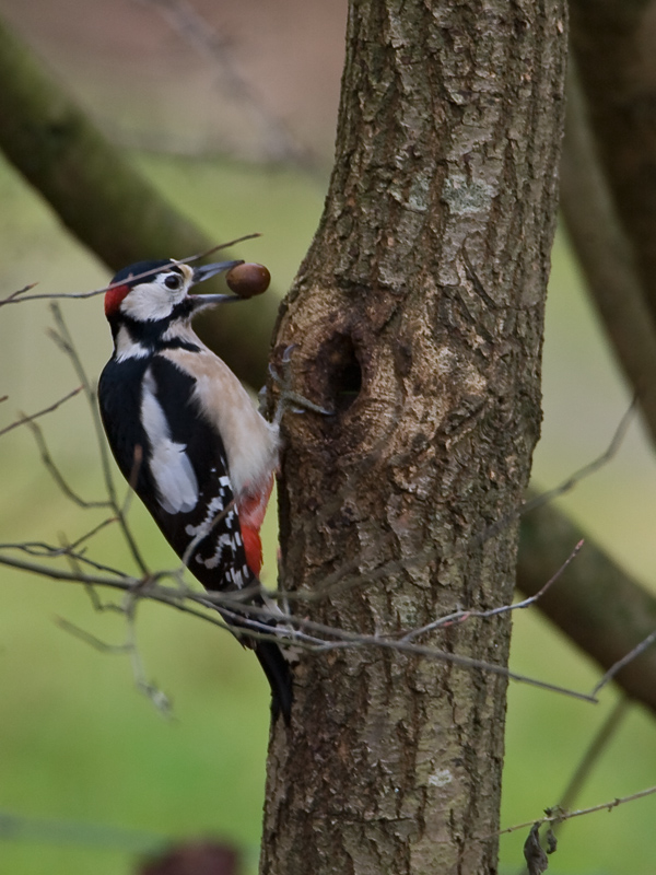 Dendrocopos major - Grote Bonte Specht - Great Spotted Woodpecker