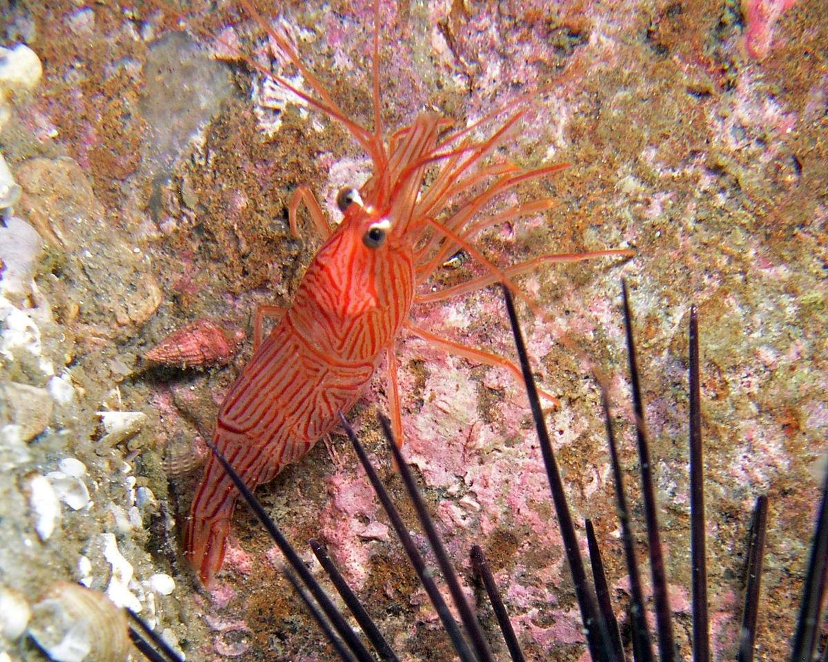Peppermint Shrimp (Lysmata ankeri)