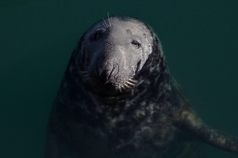 Seal in Howth Harbour