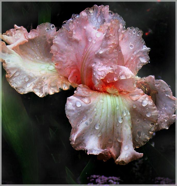 fancy Iris ?
