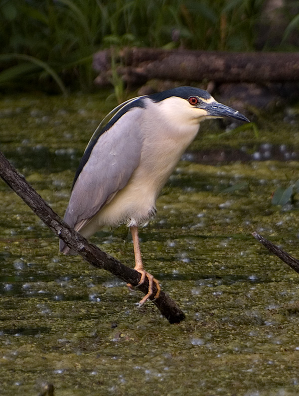 Black-crowned Night Heron_3.jpg
