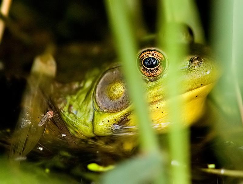 Green Frog_2.