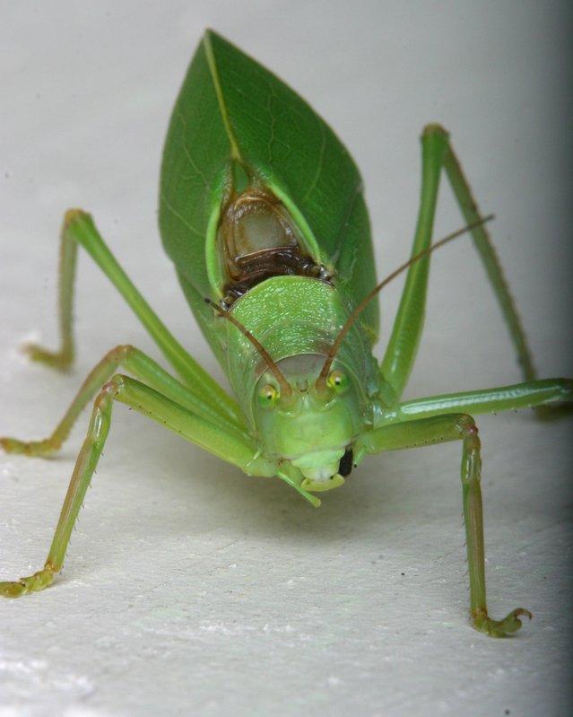 Leaf Bug or katydid on Brendas porch