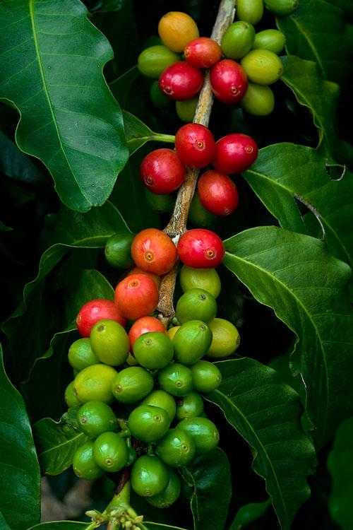 Kona coffee cherries V