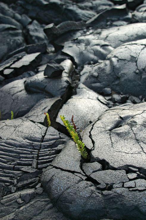 rebirth of vegetation in lava fields