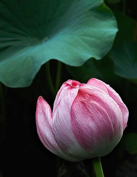 Lotus flower after a summer rain (Ueno Garden, Tokyo)