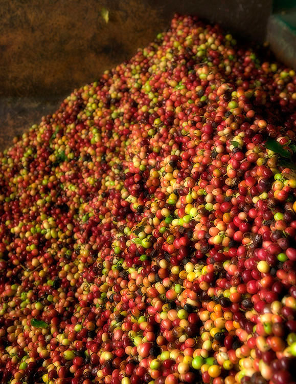 Kona coffee cherries I