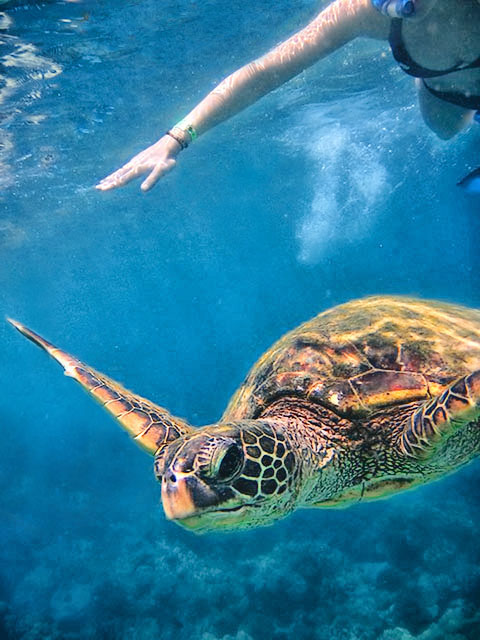 Turtle swimming around snorkelers
