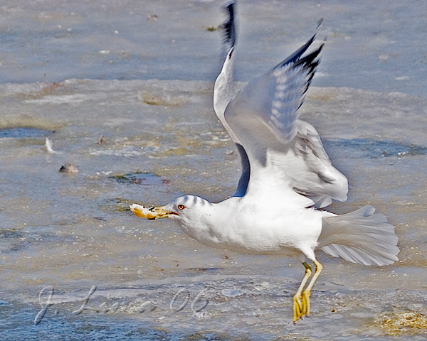 Ring-billed Gull With Food