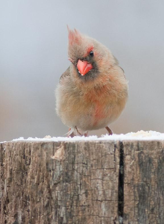 _MG_2811 Female Cardinal with 1.4x Tamron