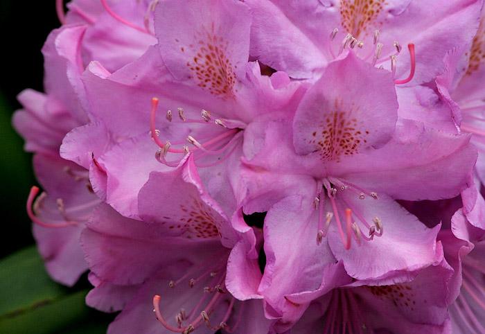 _MG_0578 Rhododendron.jpg