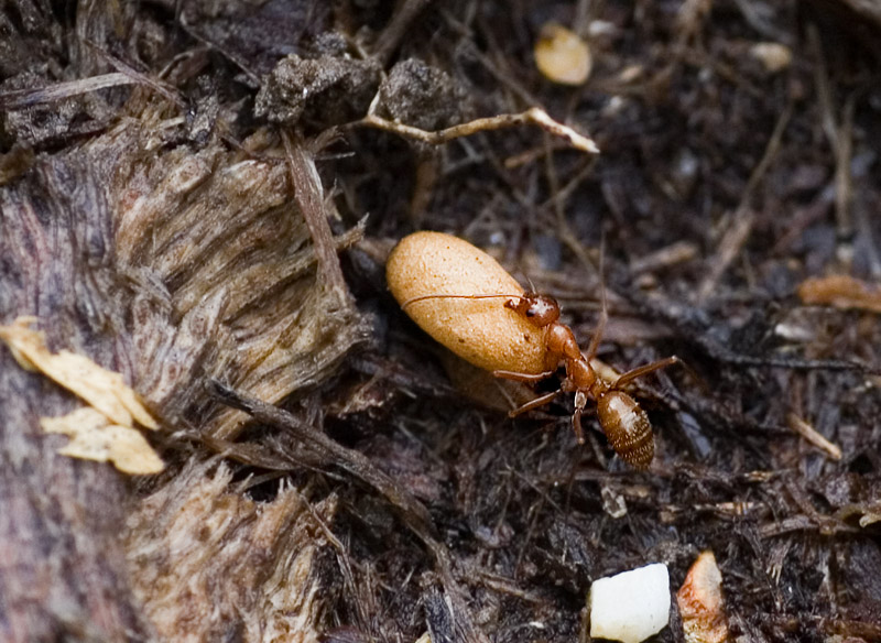 _MG_2017 Busy Ant