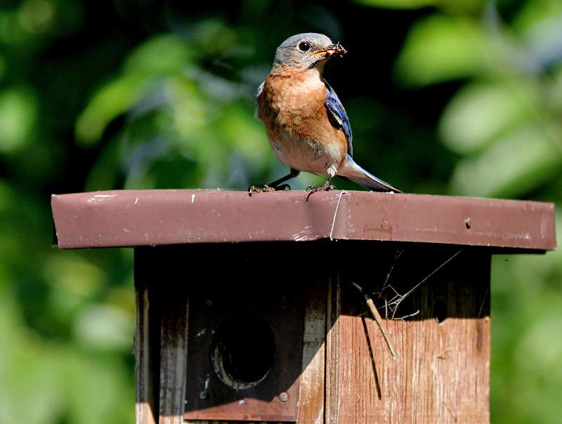 _MG_2274 Bluebird - Listen to a robin!