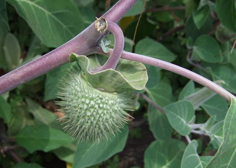 064 Moonflower seed pod
