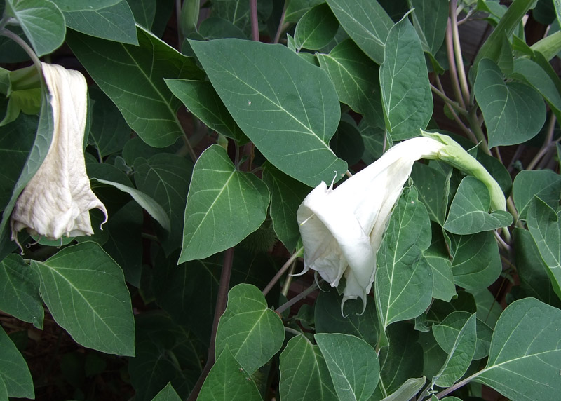 065 One day old Moonflower blossoms