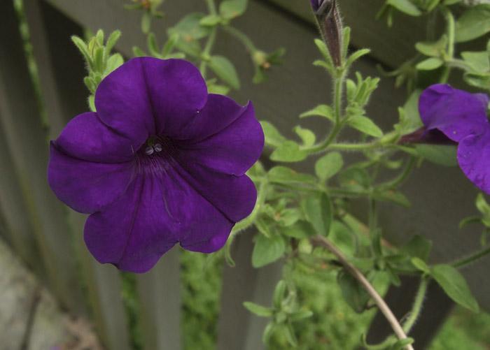 8-31 033 Great Purple