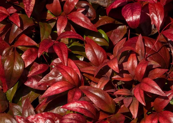 P1000616 Nandina Winter Color