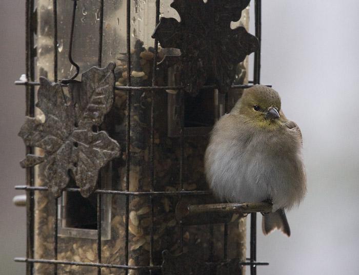 _MG_0431 Resting Goldfinch