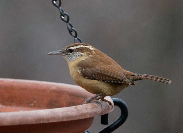 _MG_0452 Carolina Wren