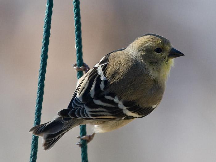 _MG_0498 Finch on Hanger