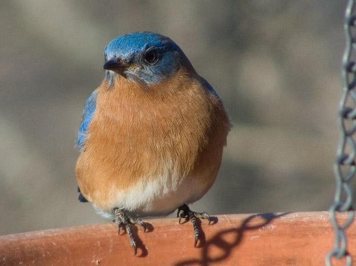 P1000677 Male Bluebird