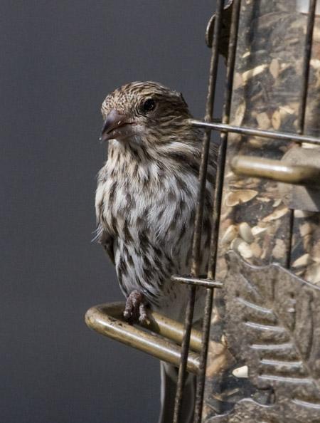 _MG_0542 Female Housefinch-BigCrop