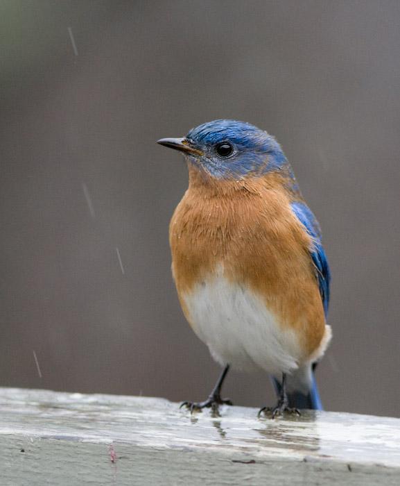 _MG_1068 Wet Bluebird