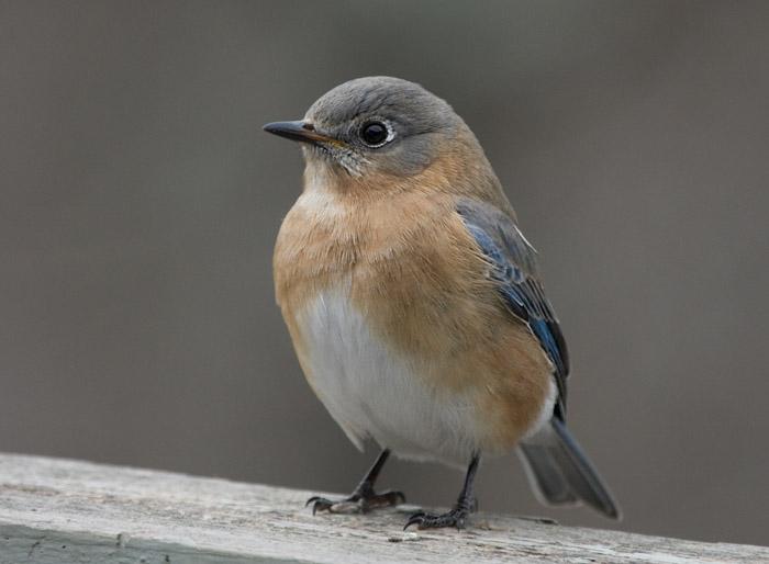_MG_0366 Female Bluebird